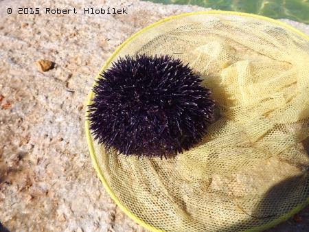 Chorvatsko - ježovka obecná