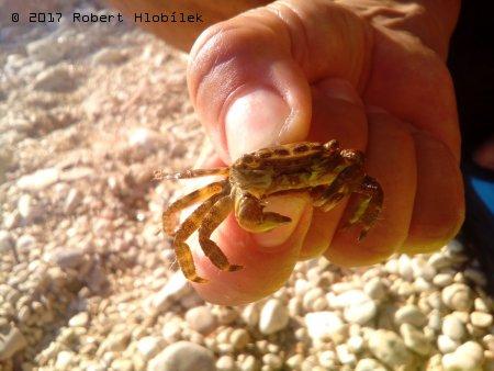 Krab mořský
