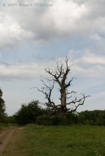 Uschlý strom