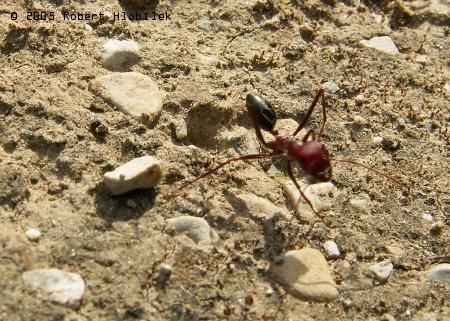 Místní velký mravenec