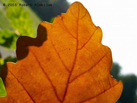 Uschlý dubový list