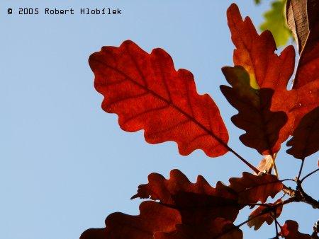Dubové listy v barvách podzimu