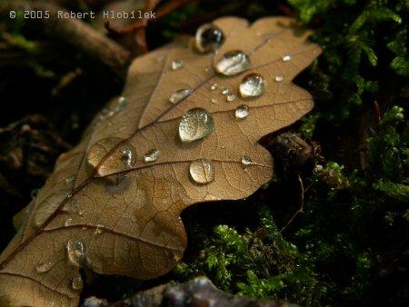 Dešťové kapky na dubovém listu