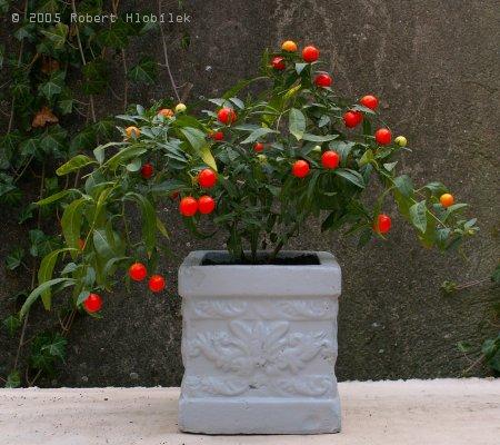 Rajčatový bonsai
