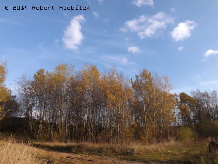 Březový háj na podzim