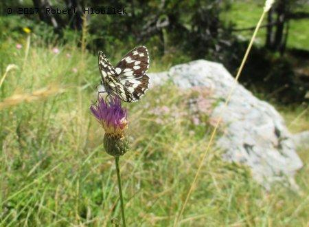 Motýl v pohoří Biokovo