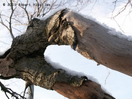 Bukové větve