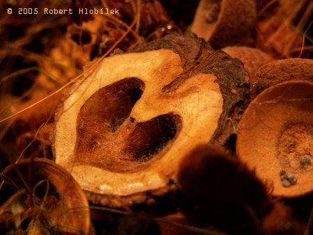 Semena z věnce