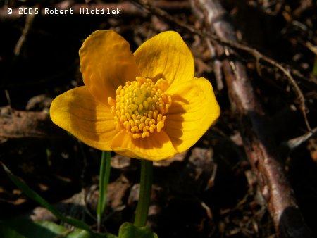 Květ blatouchu