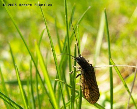 Odborný název tohoto hmyzáka se mi nepodařilo zjistit