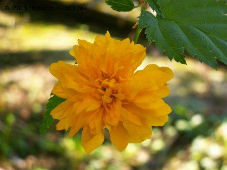 Květ okrasného keře