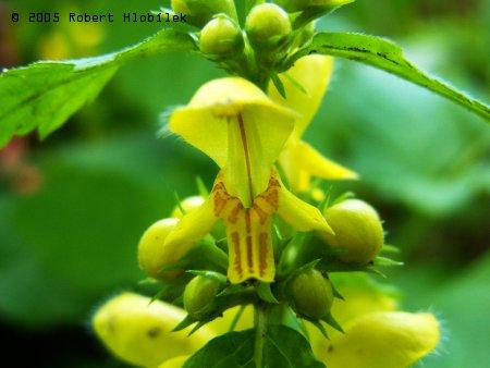 Žlutý květ hluchavky