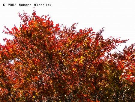 Část koruny památného stromu