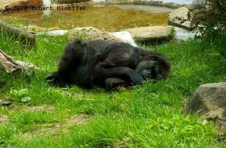 Opička spí