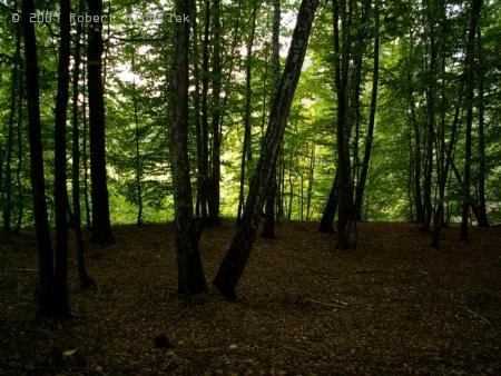 V břízovém lese