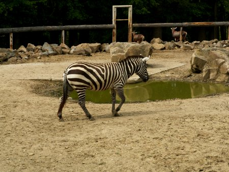 Zebra stepní bezhřívá