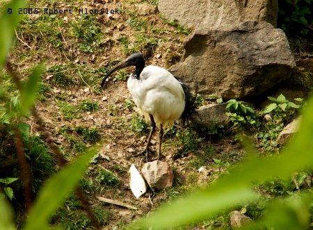 Ibis posvátný