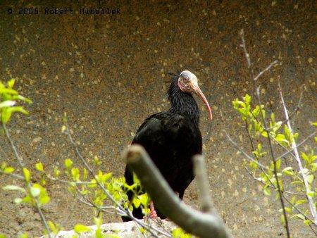 Ibis skalní