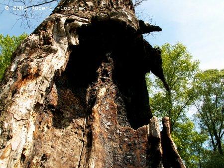 Starý vykotlaný strom