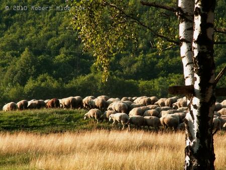 Na farmě se chová 1000 ovcí a denně se prodáva ovčí sýr a další produkty