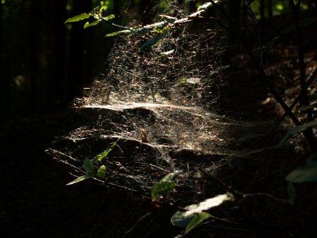 Pavučina v lese