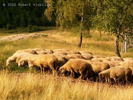 Ovečky na pastvě při večerním slunci