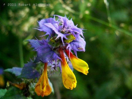 Dvoubarevný květ