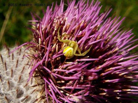 Pavouček v bodláku