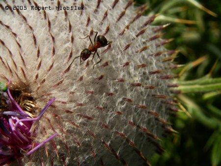 Mravenec lesní na bodláku