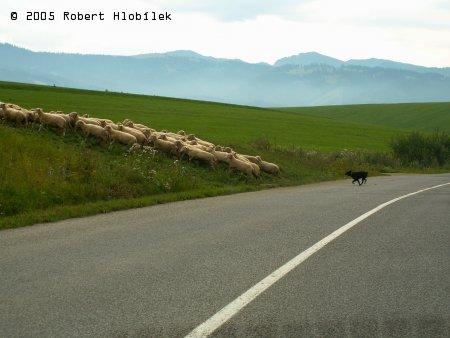 Ovečky a pastevecký trhač :)
