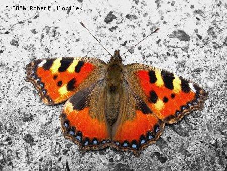 Už se probouzejí i motýli