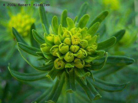 Zelený květ
