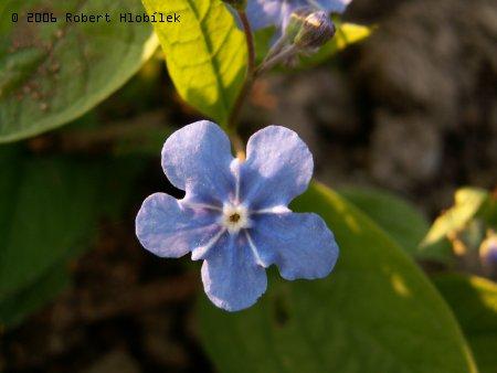 Blankytně modrý květ