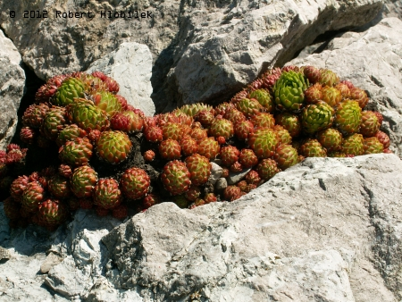 Netřesk vápnomilný (Sempervivum calcareum)