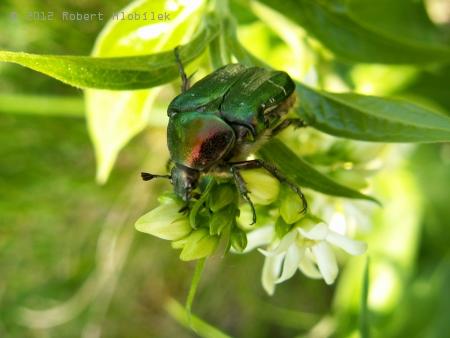 Zlatohlávek zlatý (Cetonia aurata)