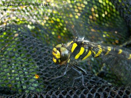 Páskovec dvojzubý (Cordulegaster bidentata)