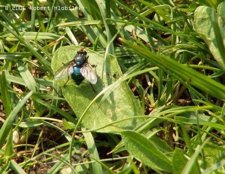 Bzučivka rudohlavá