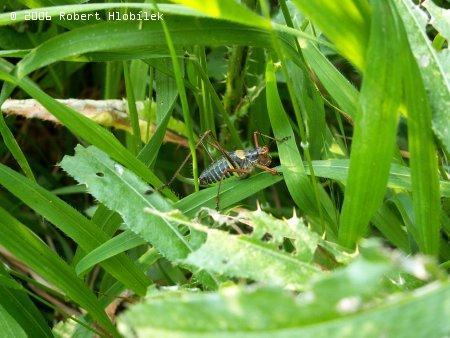 Kobylka smrková