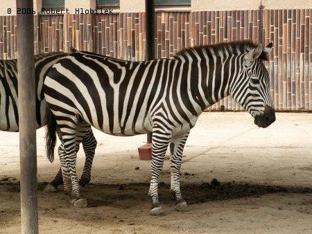 Zebra böhmova